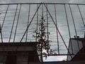 LEI-HAAGBEUK (hoogstam leibomen scherm) omtrek 12-14cm