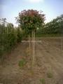 BOL-GLANSMISPEL (Bolvorm op stam 225cm) omtrek 10-12cm